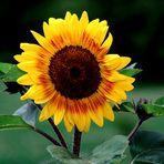 Meine Sonnenblume , die mich anlacht