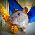 Meine süße Ratte Skipper