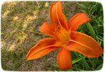 (M)Eine Taglilie zur Sommer-Sonnenwende