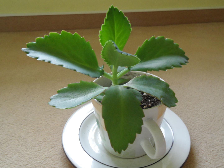 Meine Tassenpflanze jetzt