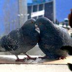 Meine Tauben 1