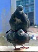 Meine Tauben 2