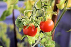 Meine Tomaten