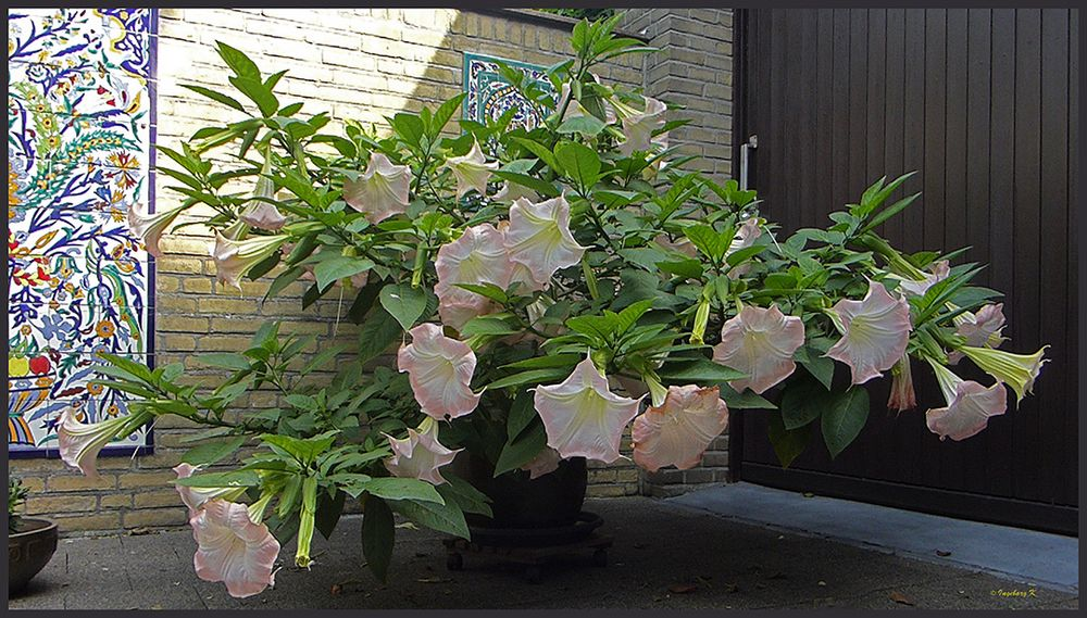 Meine Trompetenblume wächst und wächst