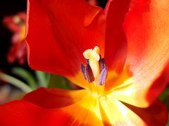 meine Tulpen