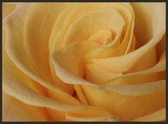 Meine Valentinstags-Rose
