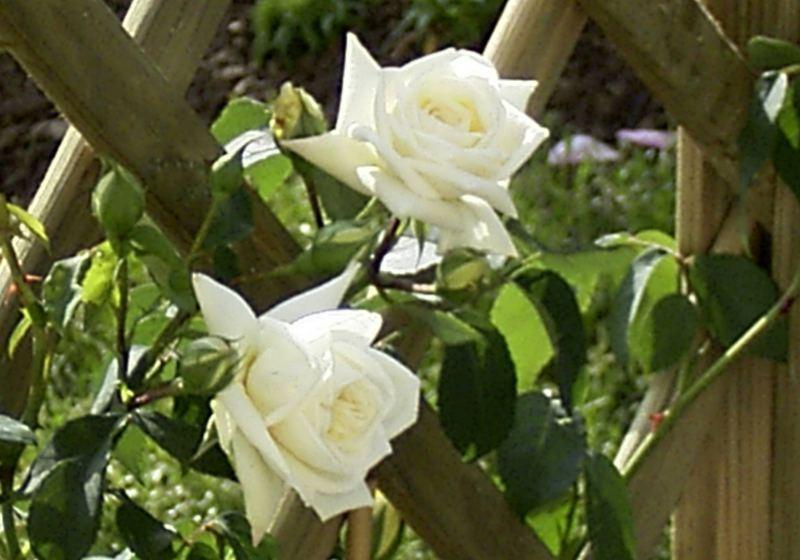 Meine weiße neue Rose