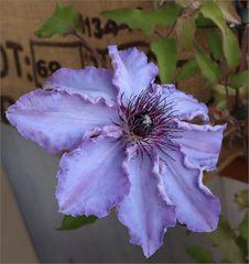 meine Wunderblume