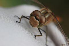 meine zahme Libelle...