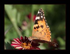 Meiner erster Schmetterling