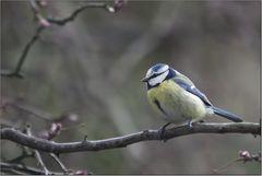 Meise beim Nestbau