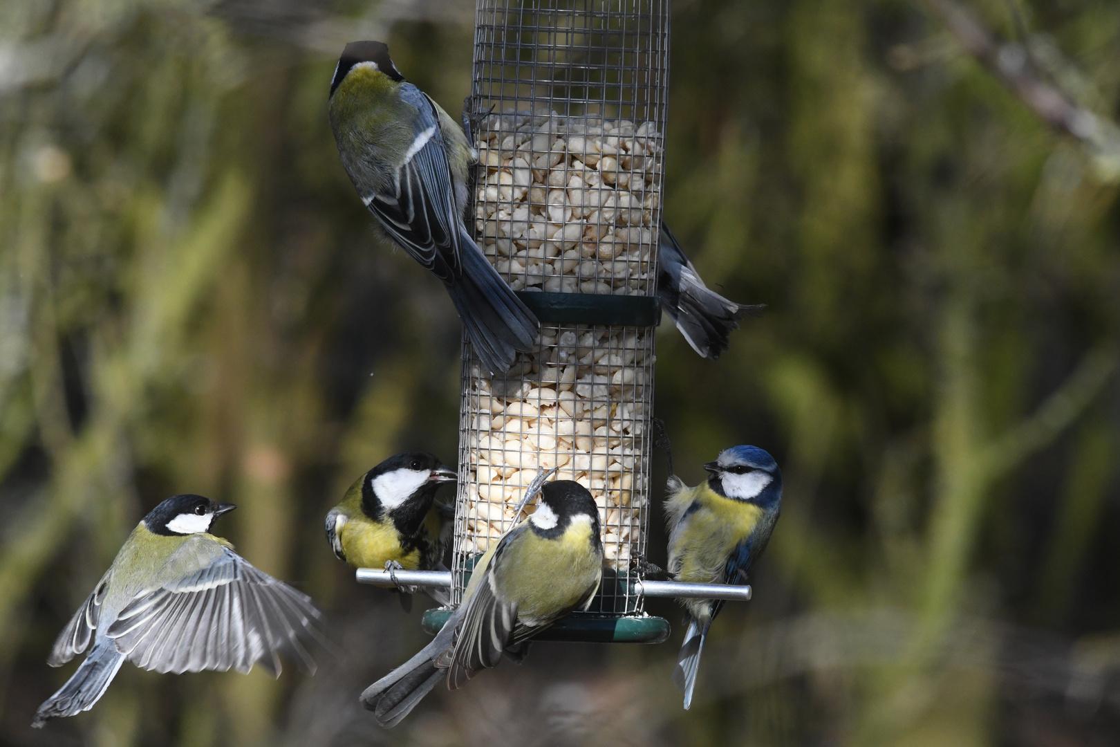 meisen an der futterstation foto & bild | natur, vögel