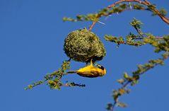 Meister des Nestbaus