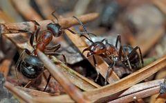 Meisterhafte Kommunikation! - La fourmi, une virtuose de la communication!