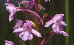 Meitinger Orchidee 2