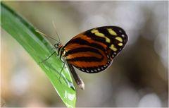 Melinaea lilis imitata