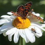 Melitaea athalia & Acmaeops collaris