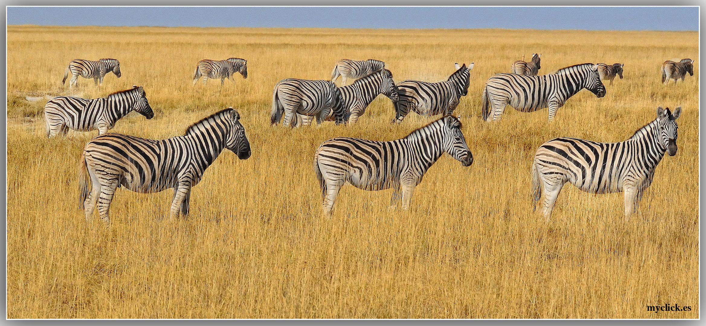 MEMORIAS DE AFRICA -CEBRAS EN LA SABANA -PN ETOSHA-NAMIBIA