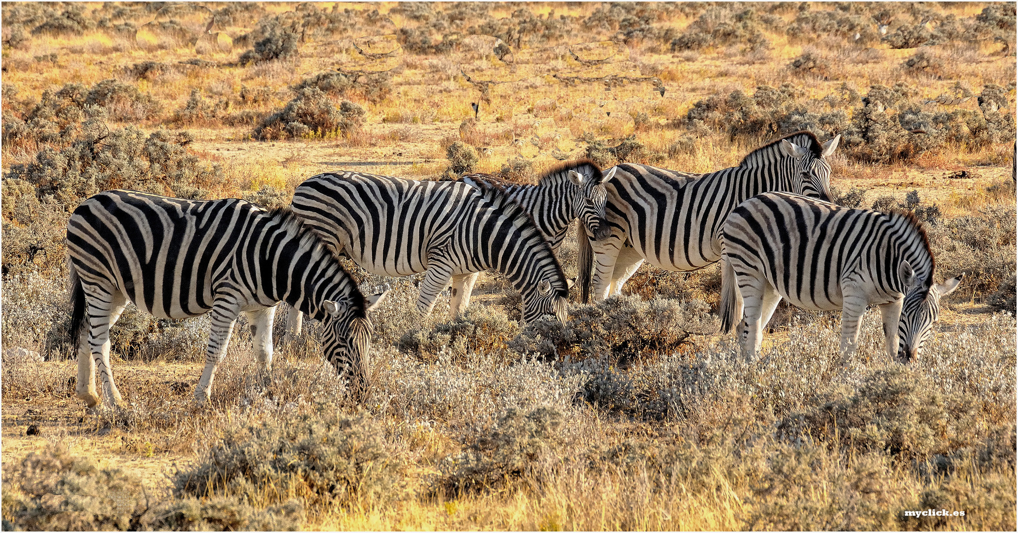 MEMORIAS DE AFRICA -CEBRAS -PN DE ETHOSA-NAMIBIA