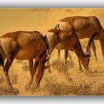MEMORIAS DE AFRICA-LA HISTORIA DE LAS GACELAS -NAMIBIA