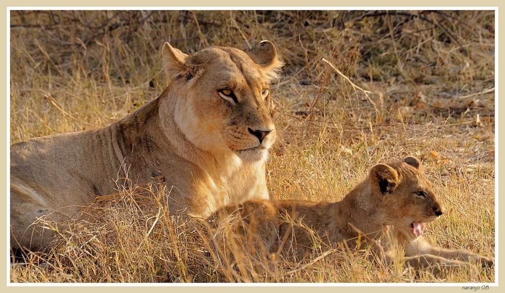 MEMORIAS DE AFRICA - LA MAMA LEONA (MOREMI)