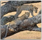 MEMORIAS DE AFRICA-LA PAREJA DE LEOPARDOS-PN SERENGUETI TANZANIA