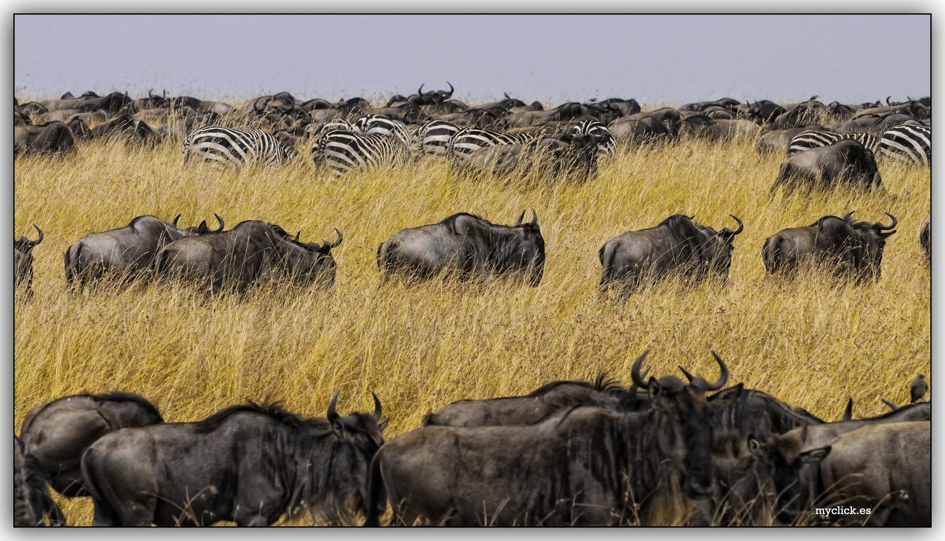 MEMORIAS DE AFRICA-LOS QUE VAN AL MARA-PN MASAI MARA KENIA