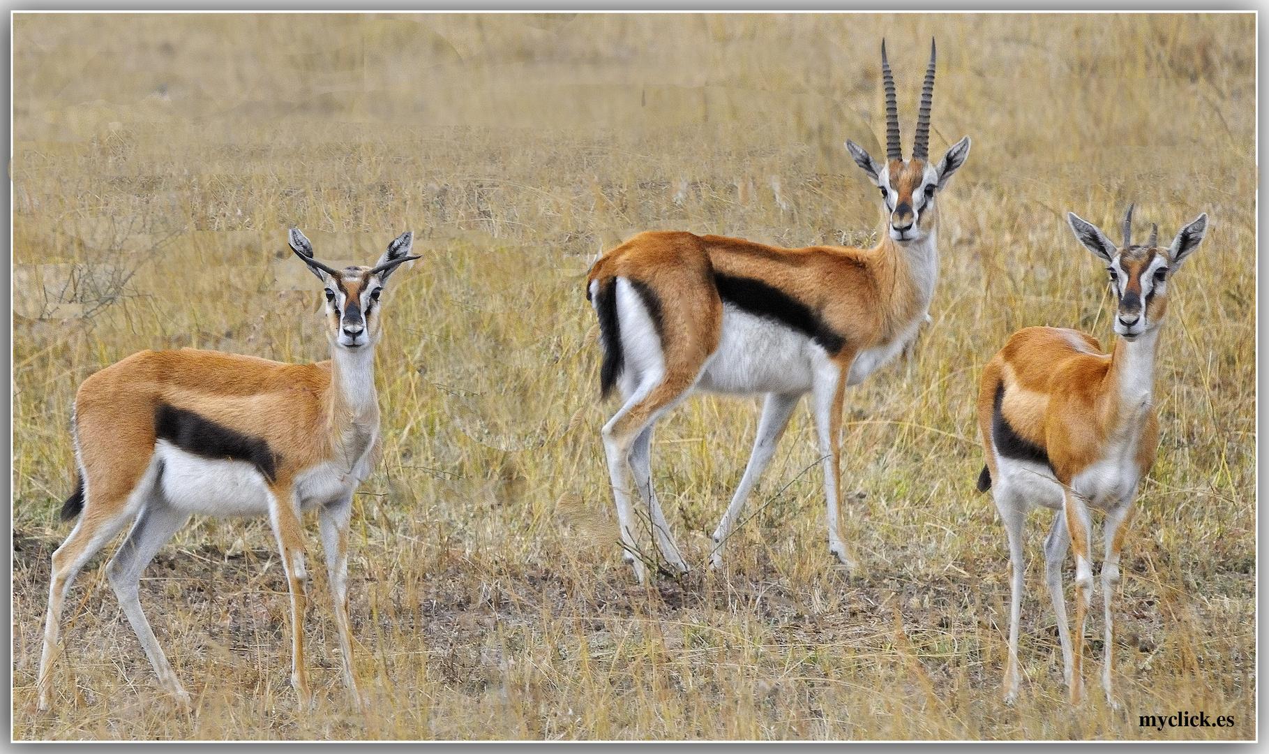 MEMORIAS DE AFRICA-TRES IMPALAS -PN MASAI -MARA-KENIA