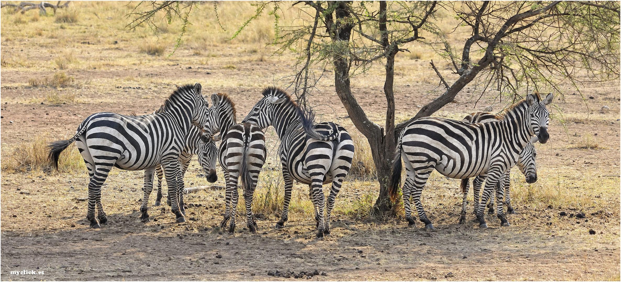 MEMORIAS DE AFRICA-UNAS CEBRAS A LA SOMBRA-PN DEL SERENGUETI-TANZANIA