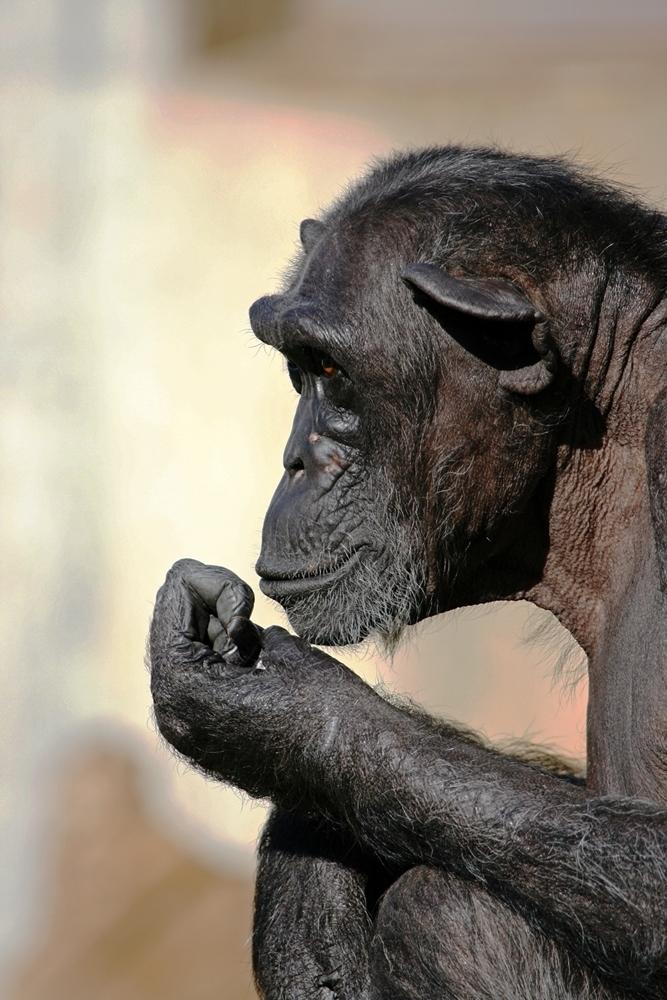 Menschen Affe 1