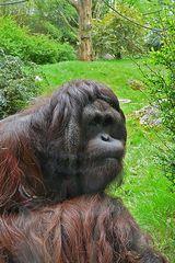 Menschenaffe - Zoo Wuppertal