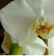 ,MenschenBlumen,Orchideenblüte.