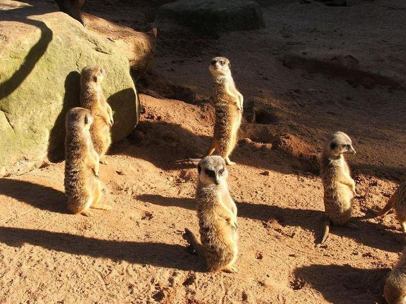 Merkats in Taronga Zoo Sydney