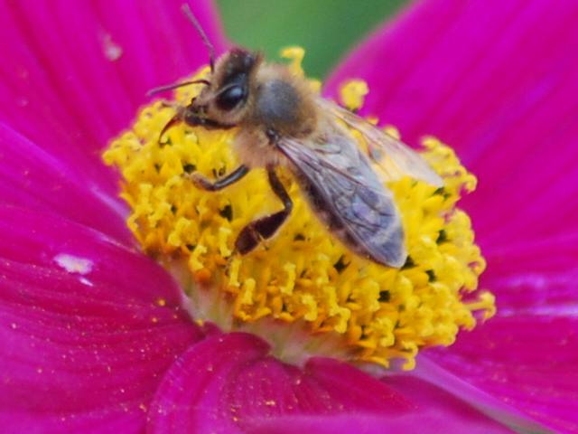 Merveilleuse petite abeille