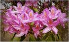 mes rhododendrons