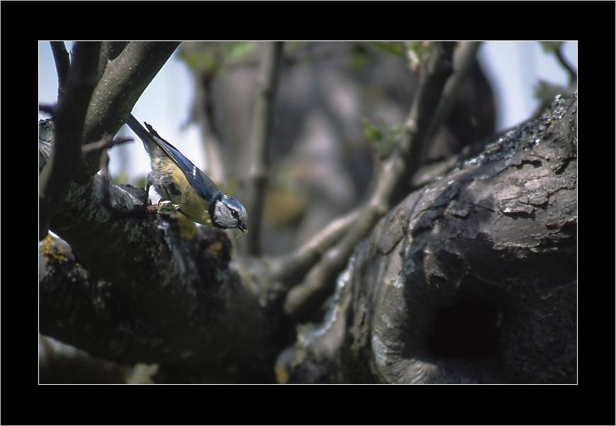 Mésange bleu,à table-1