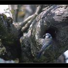 Mésange bleu,à table-5