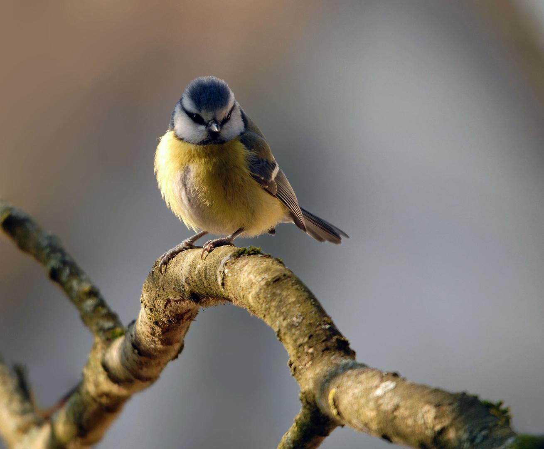 Mésange bleue (2)