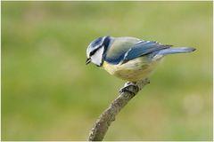 Mésange bleue (6)