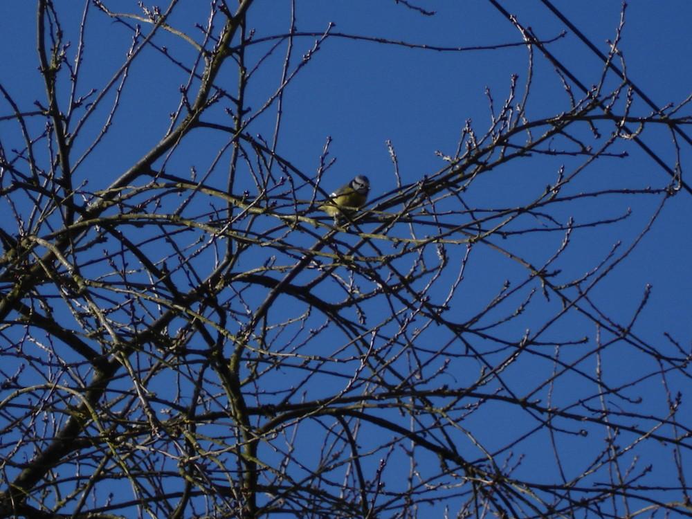 Mésange se reposant sur ces branches par un beau soleil d'hiver.