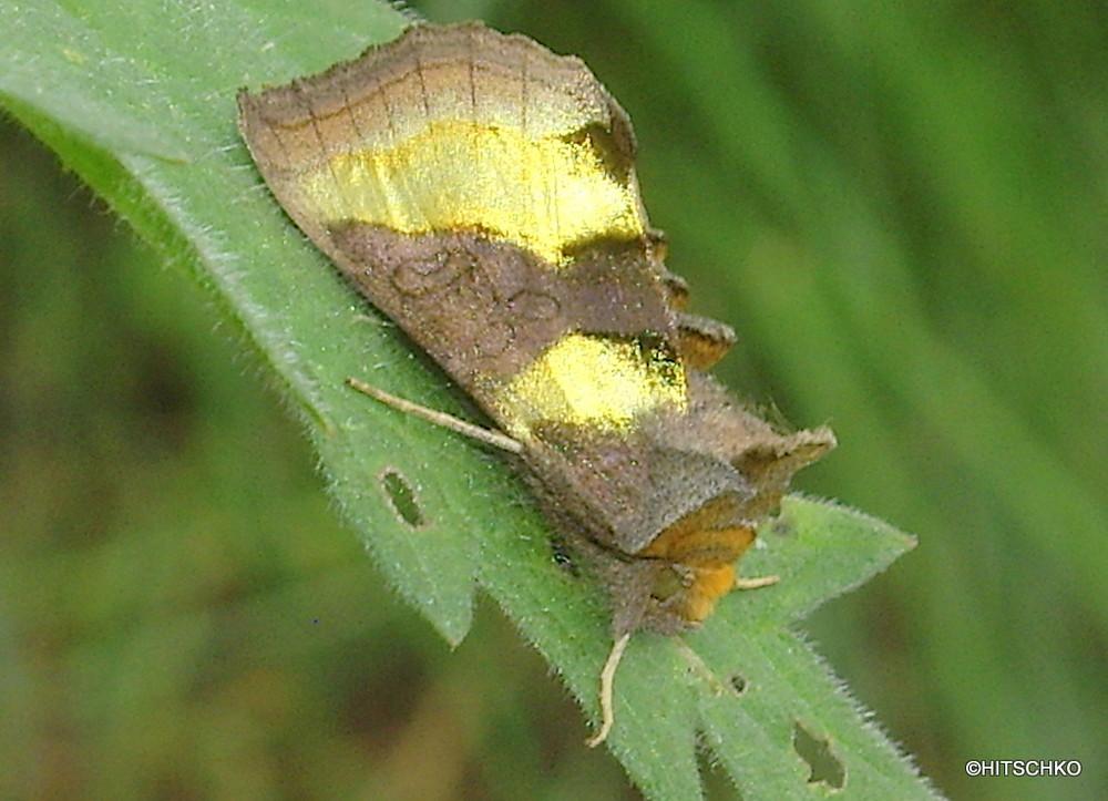 Messingeule (Diachrysia chrysitis)