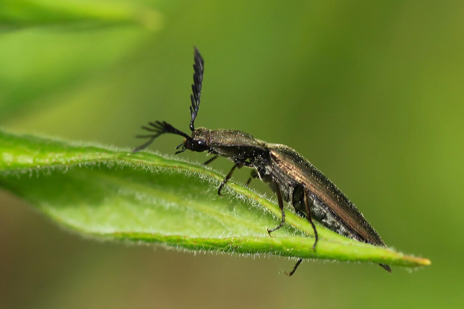 Metallfarbener Rindenschnellkäfer (Stenicera pectinicornis)