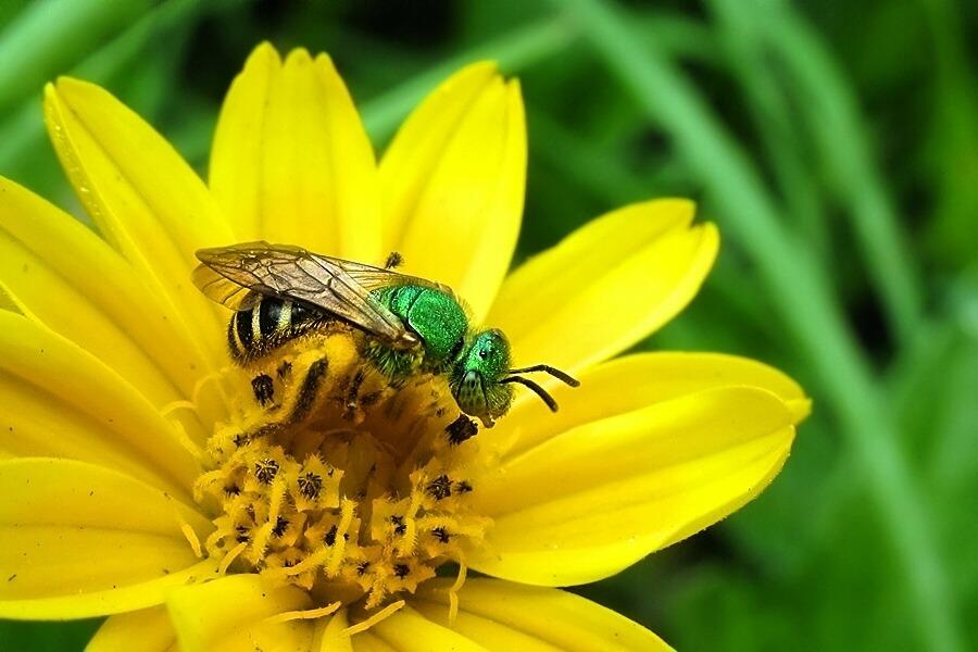 metallic green bee - genus agapostemon