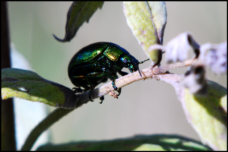 metallic leuchtender Käfer