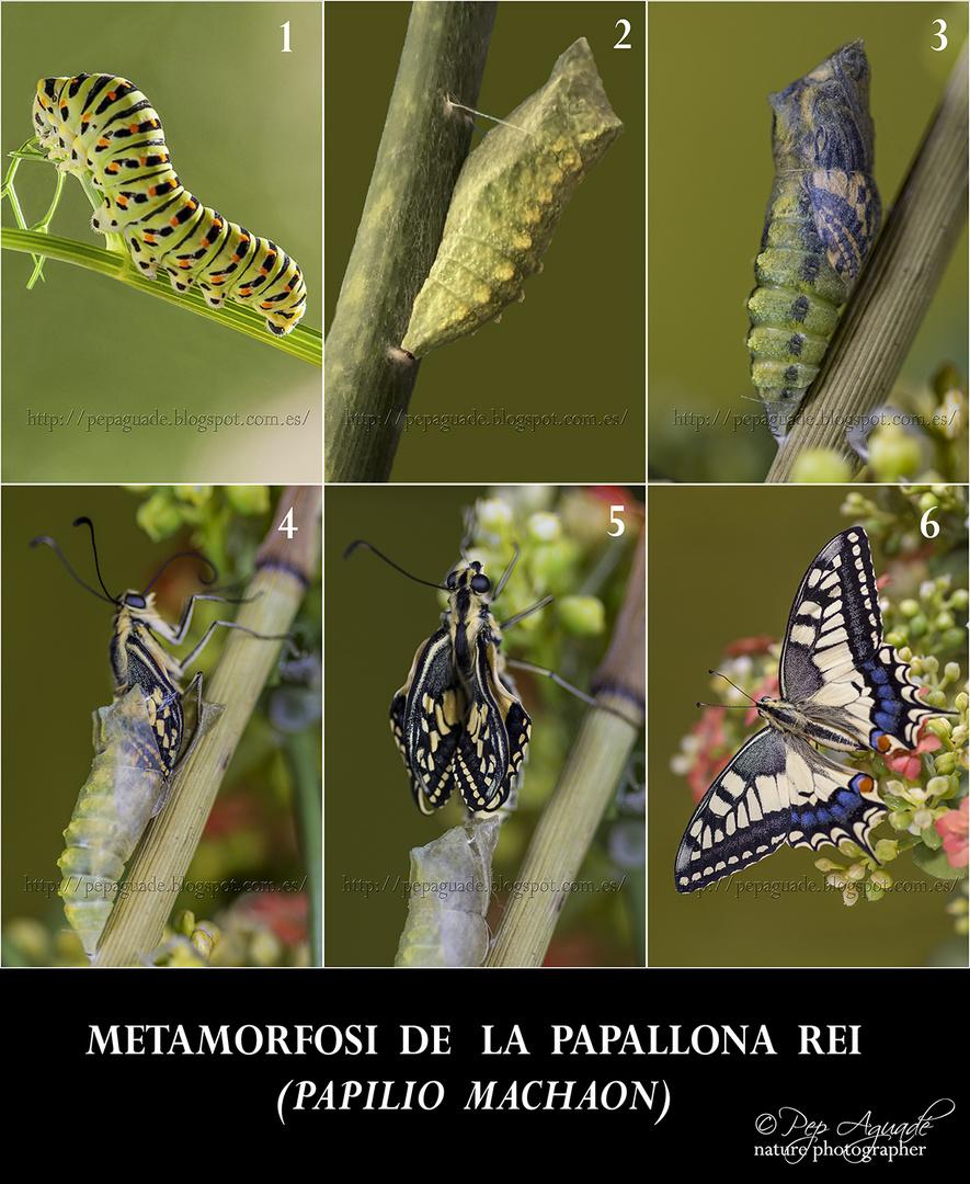 Metamorfosi de la papallona rei (Papilio Machaon)