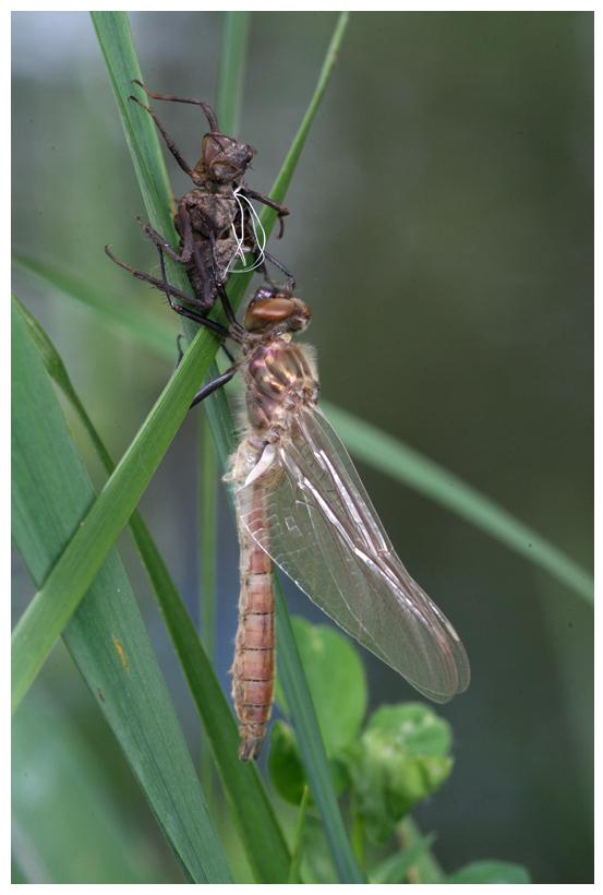 Métamorphose de libellule