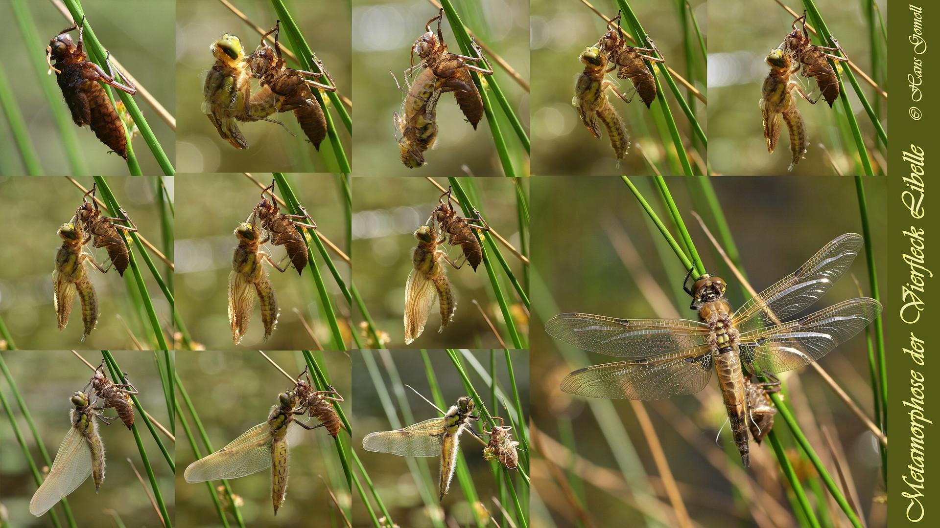 Metamorphose der Vierfleck Libelle