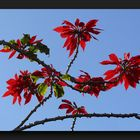 Mexican flame leaf