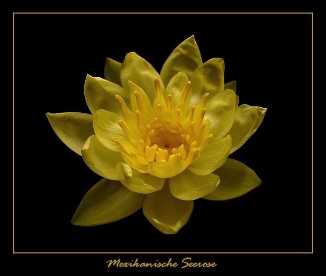 Mexikanische Seerose - Nymphaea mexicana