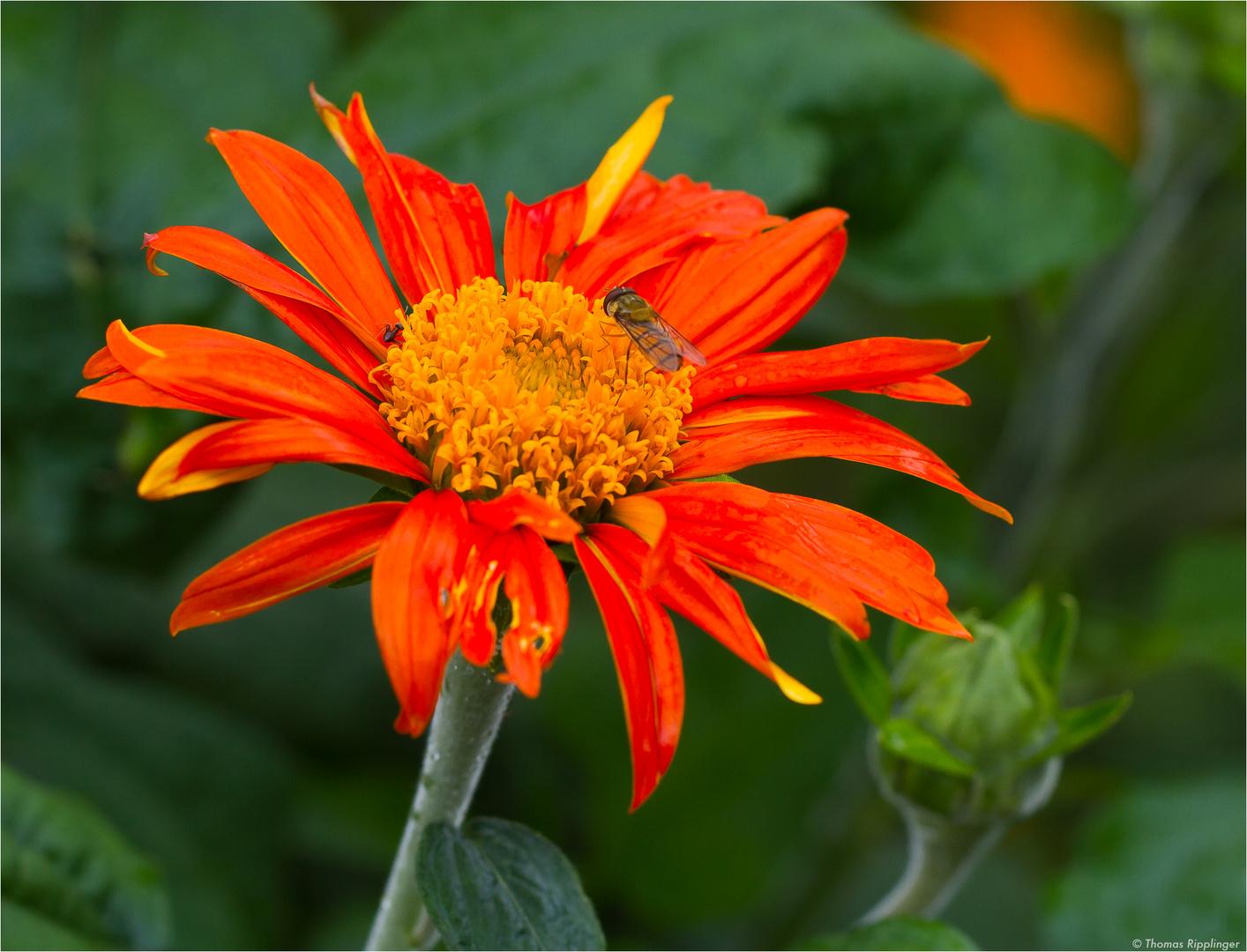 Mexikanische Sonnenblume (Tithonia diversifolia).